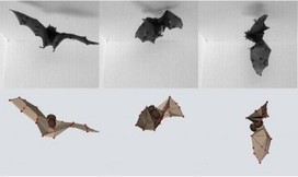 Using Their Heavy Wings, Bats Flip Like an Acrobat to Land Upside-Down - Newswise (press release) | Bat Biology and Ecology | Scoop.it