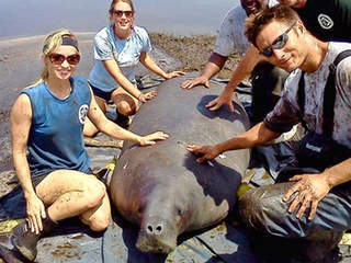 1,100-pound manatee rescued in remote area of Everglades | The Everglades Puzzle | Scoop.it