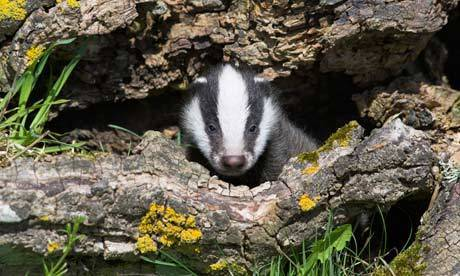 Badger TB cull: will the zero-cost, zero-sense policy prevail? | MicrobiologyBytes | Scoop.it