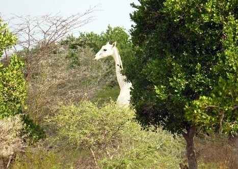 Rare white giraffe spotted at the Ishaqbini conservancy in Garissa - Hapa Kenya | AKenyanVoice - Supporting Kenyan Artists | Scoop.it