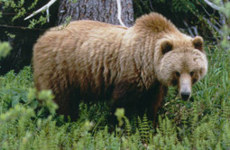Judge says USFWS must analyze cumulative impacts before authorizing grizzly kills | Farming, Forests, Water, Fishing and Environment | Scoop.it