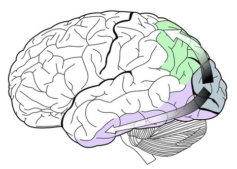 Sound and vision: Visual cortex processes auditory information too | Social Neuroscience Advances | Scoop.it