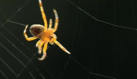 L'araignée, ingénieur en chef   EntomoScience   Scoop.it