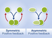 Asymmetric positive feedback loops reliably control biological responses | Darwinian Ascension | Scoop.it