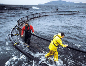 NORWAY: Marine Harvest VAP Europe's revenues fall in Q1 | Aquaculture (Global Aqua Link) | Scoop.it