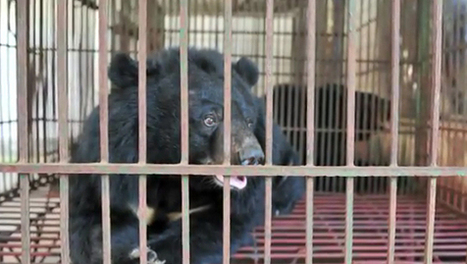 Endangered Moon Bears Harvested for Bile in Vietnam | Year 4 Geography: Saving the animals | Scoop.it
