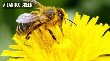 Et si les abeilles n'étaient pas en voie de disparition ? | apiculture 2.0 | Scoop.it