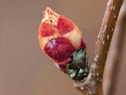 Gemmothérapie : bourgeons de Mars   Santé par les plantes   Scoop.it