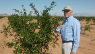 Commercial pomegranates take root in Arizona | Western Farm Press | CALS in the News | Scoop.it