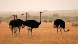 Why ostriches do not fly? | onlinepetanswers | Scoop.it