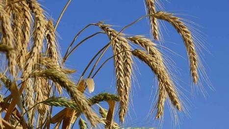 UK: Swap second wheat for triticale to lift margins | WHEAT | Scoop.it