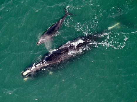 Right Whales Breeding Again After Years Of Entanglement | READ WHAT I READ | Scoop.it