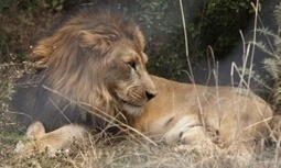 Australia bans hunting 'trophies' from lions entering or leaving the country | Biodiversity | Scoop.it