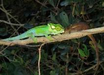 Chameleons' colourful flashes are social signals - life - 29 January 2008 - New Scientist | TPE cameleon | Scoop.it