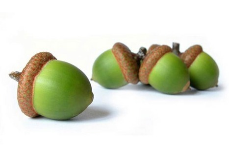 Preparing acorns to be a nutritious source of food   Brian's Science and Technology   Scoop.it