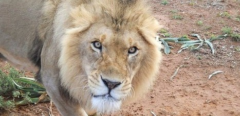 Help us to look after our lions. | Worldwide Experience | AnimalConservation | Scoop.it