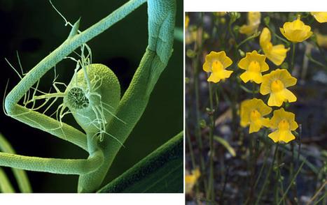 ScienceShot: Carnivorous Plant Ejects Junk DNA | Mis Tecnologías | Scoop.it