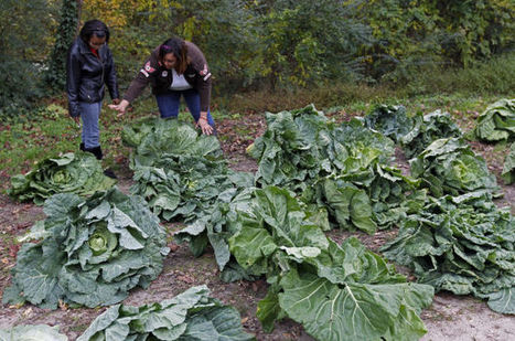 Roadside collard patch suits Wake County man's taste | North Carolina Agriculture | Scoop.it