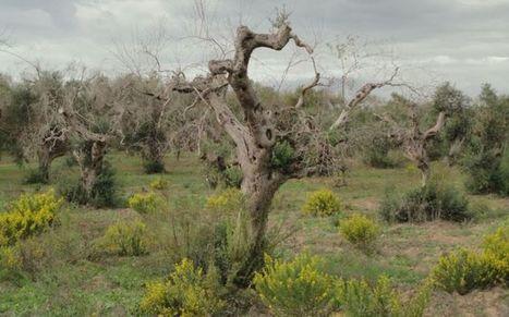 El 'ébola' de los olivos | Actualidad forestal cerca de ti | Scoop.it