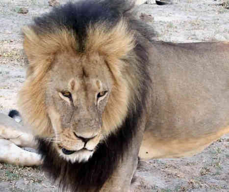 Cecil's cubs protected by second lion | Nature Animals humankind | Scoop.it