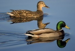 Iniciativas para la conservación de las aves en América del Norte | Canal Azul 24 | Agua | Scoop.it