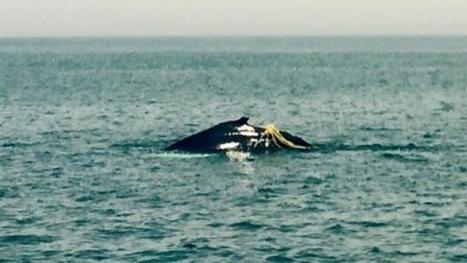 Humpback whales tangled in fishing lines off Maritimes not uncommon - Nova ... - CBC.ca | Nova Scotia Fishing | Scoop.it