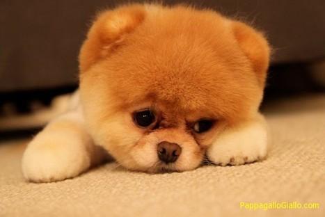 I cani più tristi (15 foto) - PappagalloGiallo.com   ANIMALI   Scoop.it