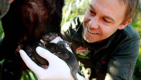 Baby Tasmanian devils have first health check, pics, video - Newcastle Herald | Tasmanian Devils | Scoop.it
