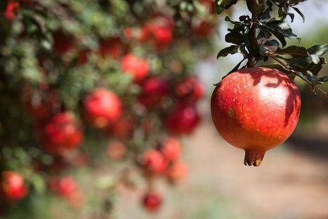 Why Eating Pomegranate Could Save Your Life | zestful living | Scoop.it