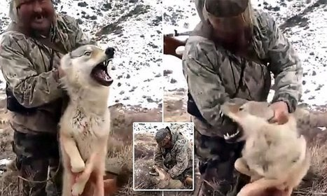 Dying wolf is lifted by its ears by grinning hunter | Nature Animals humankind | Scoop.it