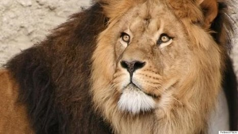 Jane Speaks Out About Slain Lion | the Jane Goodall Institute | Introduce new course in schools called COMPASSION | Scoop.it