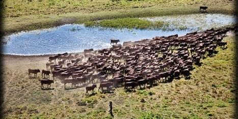 Élevage : le grand troupeau de la société Grelka en RD Congo | CONGOPOSITIF | Scoop.it