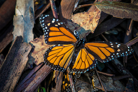 Drones Uncover Illegal Logging in Critical Monarch Butterfly Reserve | Our Evolving Earth | Scoop.it