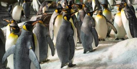 Antarctica's March of the Penguins | IOL | GarryRogers Biosphere News | Scoop.it