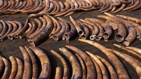 NBI asked to probe ivory trade in PH   The Wild Planet   Scoop.it