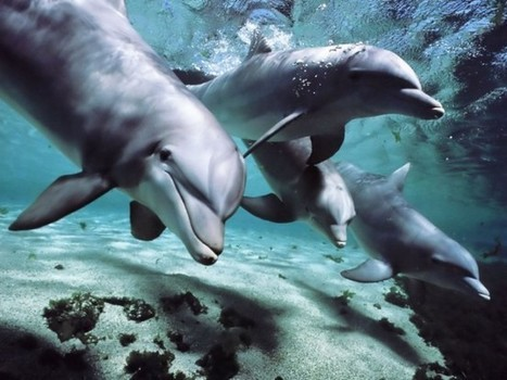 Further Proof That #Dolphins Have Human-Like Intelligence And Their Own 'Language' | World Truth.TV | Limitless learning Universe | Scoop.it