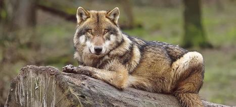 Tous les chiens descendent du loup | Aux origines | Scoop.it