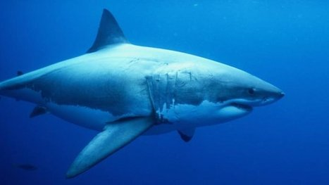 Le nombre de requins blancs augmente | Requins | Scoop.it
