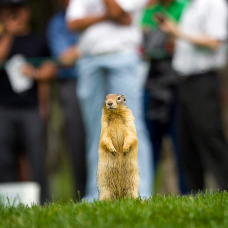 A ground squirrel takes in the action from second tee during the... | Sight For Sore Eyes | Scoop.it