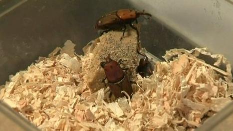 Un nouveau spécimen de charançon rouge capturé à Nice | EntomoNews | Scoop.it