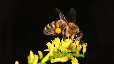 La caféine améliore la mémoire des abeilles | EntomoNews | Scoop.it
