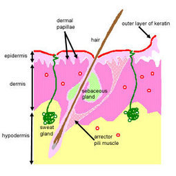 Histology Guide   Skin   Group 9   Scoop.it