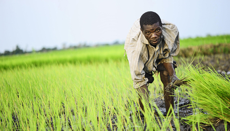 Rice genome could answer 'the 9 billion-people question'   Futurity   CALS in the News   Scoop.it