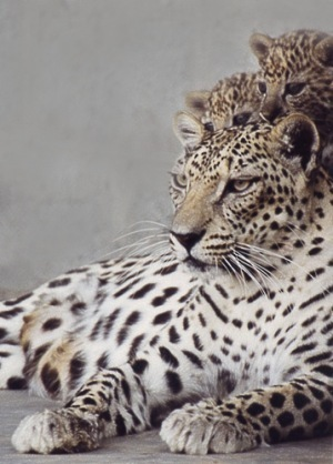 The Arabian leopard  -  what grace, strength and beauty | The Integral Landscape Café | Scoop.it