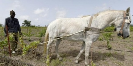 Le premier vin produit au Sénégal prend corps à l'ombre de baobabs | Le vin quotidien | Scoop.it