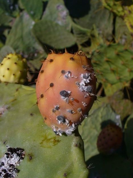 Cochineal scale insects | CALS in the News | Scoop.it