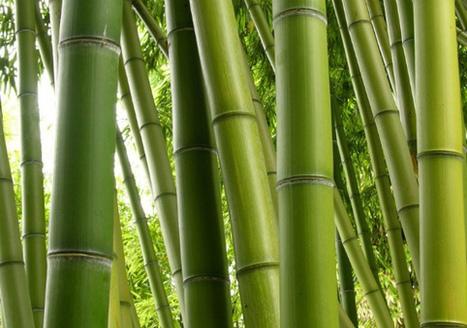 Bambú, un aliado contra el calentamiento global | Noticias de ecologia y medio ambiente | Infraestructura Sostenible | Scoop.it