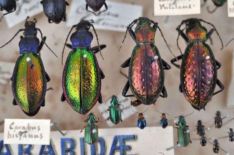 Des coléoptères - L'Agrion de l'Oise   Insect Archive   Scoop.it