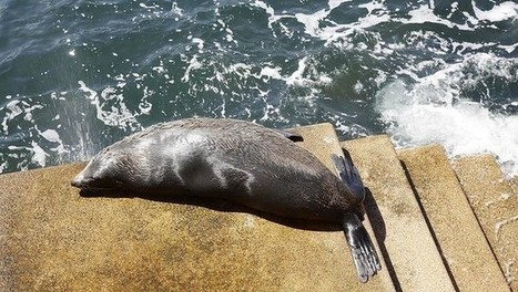 Seal spotted at Sydney Opera House | OperaMania | Scoop.it