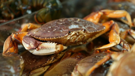 Dungeness crabs threatened by, you guessed it, climate change | Sustain Our Earth | Scoop.it